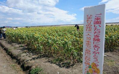 ひまわり園生育状況(7月30日)
