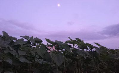 秋のひまわり生育状況(10月19日)