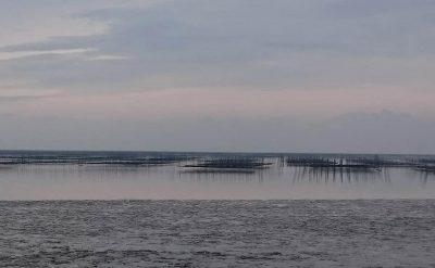 有明海から顔を出す海苔